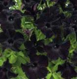 Pétunia RAY Noir