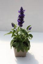 Salvia ou sauge Farineuse