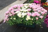 chrysanthèmes petites fleurs 3 couleurs en jardinière de 50cm