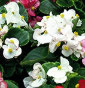 Bégonia Blanc feuille verte