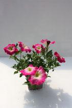 Pétunia retombant Rose vif à coeur blanc