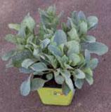 Mercancia plante gout d'huitre