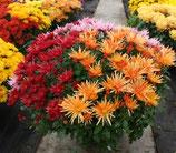 chrysanthèmes petites fleurs 3 couleurs contenant : coupe 27 cm