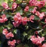 Bégonia BIG Rose Feuille bronzée
