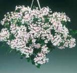 Géranium Lierre simple Blanc