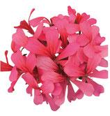 Géranium Lierre simple Rose
