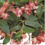 Bégonia DRAGON rose