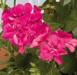 Géranium Lierre Double Rocky Rose Vif