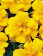 Oeillet d'inde Fleur plate Jaune