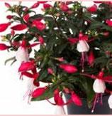Fuchsia BELLA EVITA