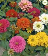 Zinnia varié - coloris indifférent