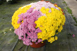 chrysanthèmes petites fleurs 5 couleurs en coupe ronde de 35 cm