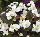 Bégonia Blanc feuille bronzée