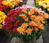 chrysanthèmes petites fleurs 3 couleurs coupe ronde de 27 cm