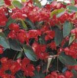 Bégonia DRAGON rouge