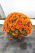 chrysanthèmes petites fleurs 1 couleur pot de terre