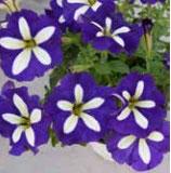 Pétunia LUCKY Bleu et blanc