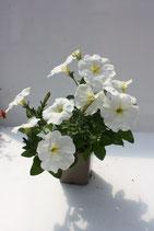 Pétunia retombant Blanc