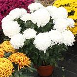 chrysanthèmes grosses fleurs 8 à 10 fleurs