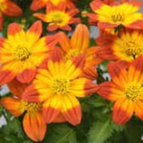 Bidens GLORY Orange