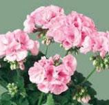 Géranium Zonale Emilia Rose clair