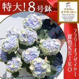 さかもと園芸のアンティークあじさい KEIKO 8号鉢