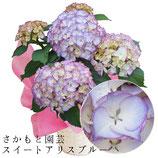 あじさいスイートアリス 5号鉢 さかもと園芸の紫陽花