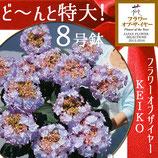 さかもと園芸のあじさい KEIKO 特大8号鉢