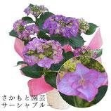あじさいサーシャ 5号鉢 さかもと園芸の紫陽花