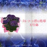 さかもと園芸のあじさい ブルーアース 6号鉢