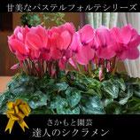 さかもと園芸のシクラメン フォルテ 5号鉢