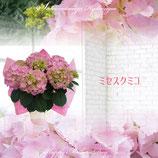 さかもと園芸のあじさい ミセスクミコ 5号鉢