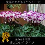 さかもと園芸のシクラメン ビクトリア 5号鉢