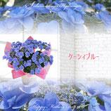 さかもと園芸のあじさい ケーシィブルー 5号鉢