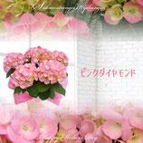 さかもと園芸のあじさい ダイヤモンドシリーズ 5号鉢