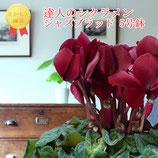 さかもと園芸のシクラメン ジャズブラッド 5号鉢