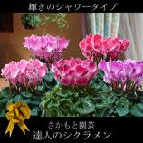 さかもと園芸のシクラメン シャワータイプ 5号鉢