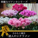 さかもと園芸のシクラメン ビアンカ 5号鉢