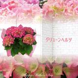 さかもと園芸のあじさい グリューンヘルツ 5号鉢