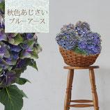 さかもと園芸のアンティークあじさい ブルーアース 5号鉢