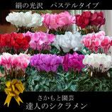 さかもと園芸のシクラメン パステルシリーズ 5号鉢