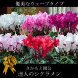 さかもと園芸のシクラメン ウェーブ 5号鉢
