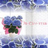 さかもと園芸のあじさい ピコティ 5号鉢