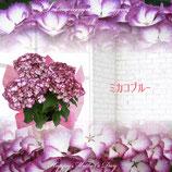 さかもと園芸のあじさい ミカコ 5号鉢