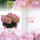 さかもと園芸のあじさい ミセスクミコ 6号鉢