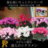 さかもと園芸のシクラメン ウィンク 5号鉢 農林水産大臣賞受賞