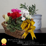 さかもと園芸のミニシクラメン 3色ミニシクラメン プラス ざっくりバスケット
