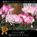 さかもと園芸のシクラメン プルマウェーブ 5号鉢