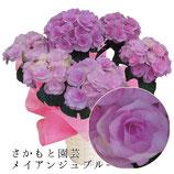 あじさいメイアンジュ 5号鉢 さかもと園芸の紫陽花