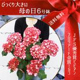 さかもと園芸のあじさい ミカコ 6号鉢